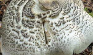 Рядовка тигровая: съедобная или нет, как принимать, полезные свойства и возможный вред от гриба, фото и описание