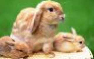 Когда отсаживать крольчат от крольчихи: в каком возрасте, чем кормить и как ухаживать за крольчатами после отсаживания,