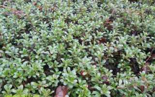 Толокнянка и брусника — основные отличия: внешний вид растений, вкус, размер, цвет и характеристика ягод, фото