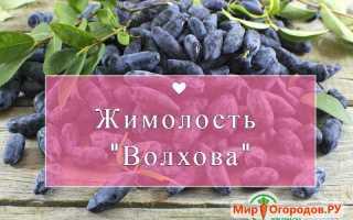 Урожайный сорт жимолости Волхова: описание сорта, посадка и уход, опылители, фото