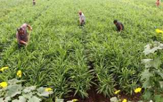 Выращивание имбиря в Сибири: особенности, правила сбора и хранения урожая