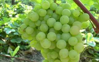 Виноград Супага: описание сорта, достоинства и недостатки, особенности выращивания, фото