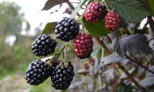 Cколько раз в жизни плодоносит ежевика, на какой год после посадки саженцев начинает давать плоды