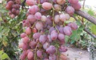 Виноград Парижанка: описание сорта, фото, выращивание и уход