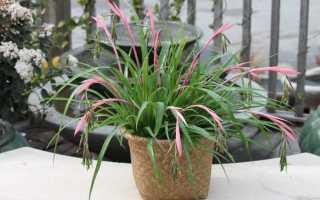 Бильбергия (комнатные растения): уход в домашних условиях, фото