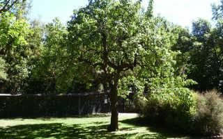 Груша Сказочная: характеристика сорта, особенности посадки и ухода за фруктом, фото