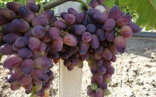 Виноград Байконур: описание сорта, фото, посадка и уход