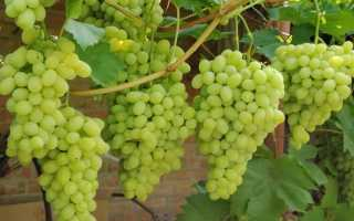 Пересадка винограда осенью на новое место: оптимальное время и сроки, основные правила, видео