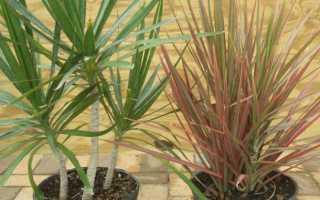 Драцена окаймлённая: описание растения, уход в домашних условиях, размножение и пересадка, проблемы при выращивании, фото