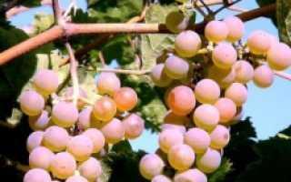 Как посадить виноград летом саженцами: пошагово с фото