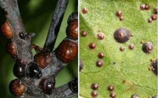 Абрикос лопается на дереве: причины, виды болезней, профилактические меры, советы по уходу