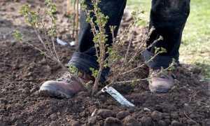 Посадка крыжовника весной в открытый грунт саженцами: пошаговая инструкция с фото