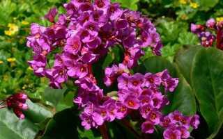 Бадан: культурное или дикорастущее растение, когда цветёт, как выглядит садовый цветок, с чем сочетается, фото