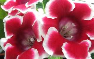 Глоксиния махровая: описание с фото, лучшие сорта, выращивание и уход в домашних условиях