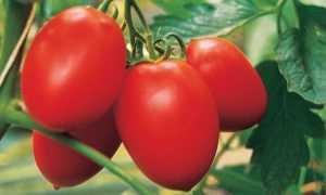 Томат Бенито f1: характеристика и описание сорта, фото, урожайность, выращивание и уход в открытом грунте