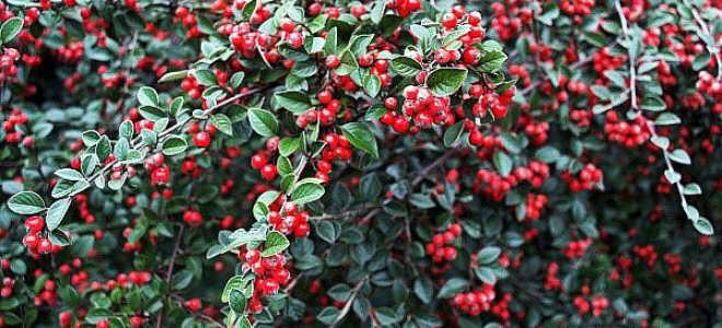 Кизил садовый: фото и описание кустарника, как выглядит, где растёт и как цветёт, калорийность ягод, чем отличается