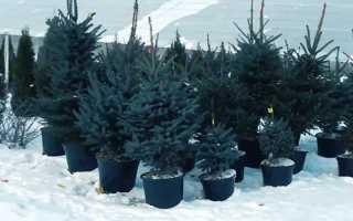 Канадская ель (сосна): описание дерева, сорта, посадка, уход, размножение, болезни и вредители, применение в ландшафтном дизайне