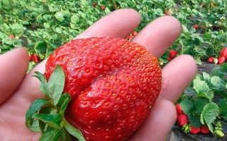 Клубника Максим: описание и характеристика сорта, агротехника выращивания и уход, фото, отзывы