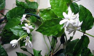 Жасмин Самбак: ботаническое описание комнатного цветка, разновидности сорта, сроки посадки и как правильно выращивать арабский жасмин