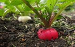 Удобрение редиски: потребность, когда редис нуждается в подкормке, чем лучше всего удобрять