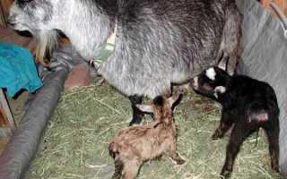 Кормление козлят (с первых дней жизни, месячных, после месяца): как составить рацион, норма корма