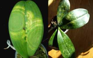 Болезни и вредители орхидей фаленопсис: причины, их лечение и устранение, уход в домашних условиях, фото, видео