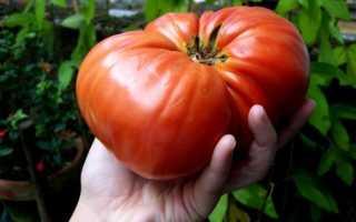 Самые урожайные сорта томатов для теплиц: крупные, новые, ранние, видео