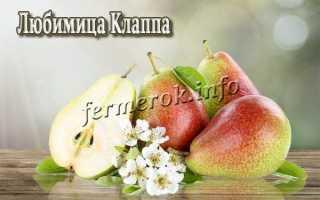 Любимица Клаппа – описание сорта груш, выращивание, отзывы с фото