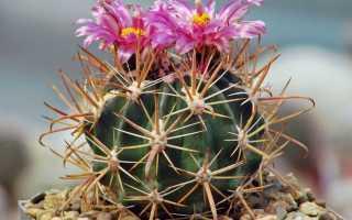 Ферокактус: описание и характеристика, основные виды растения, выращивание и уход в домашних условиях, фото