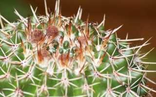 Нотокактус – описание растения с фото, уход в домашних условиях
