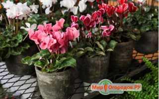 Как вырастить цикламен из семян: пошаговая инструкция посадки, уход и размножение в домашних условиях
