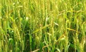 Озимая пшеница Московская 40: описание сорта и его характеристики, урожайность и устойчивость семян, правила выращивания