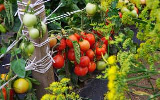 Томат Дубок: характеристика и описание сорта, фото, урожайность, посадка и уход