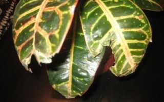 Почему у кротона опадают листья: причины, что делать и как лечить растение?