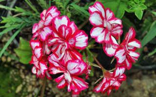 Королевская герань: уход в домашних условиях, размножение черенками, цветение, обрезка, фото