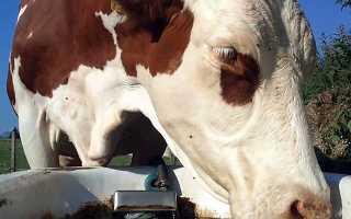 Что пьёт корова – сколько воды в день и что делать если не пьет