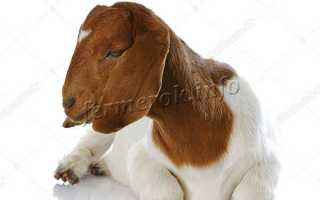 Дамасская коза породы шами: характеристика и особенности разведения в домашних условиях