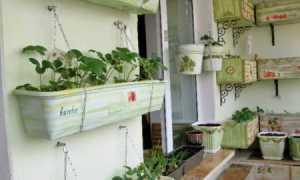 Черника на подоконнике круглый год: выращивание растения дома в горшке, как вырастить и ухаживать