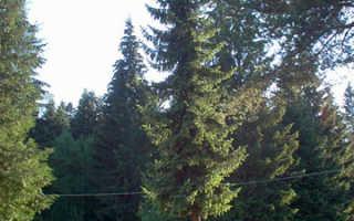 Ель сербская Карел (Karel) в ландшафтном дизайне: описание, посадка и уход, фото