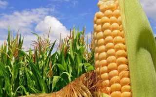 Урожайность кукурузы: средние показатели с 1 га, как посчитать по початку