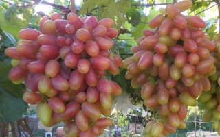Виноград Преображение – описание сорта, уход, фото и отзывы