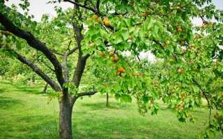 Почему не плодоносит абрикос: основные причины, что делать, методы борьбы