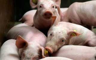 Болезнь Ауески у свиней: симптомы и лечение, причины возникновения