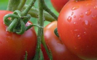 Томат Ляна – характеристика сорта, отзывы с фото, урожайность