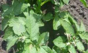 Куда девать картофельную ботву после уборки картофеля: варианты использования, особенности применения в огороде