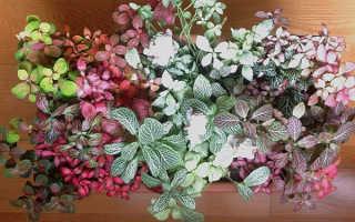 Фиттония микс: уход в домашних условиях, фото, пересадка, цветение, размножение, грунт