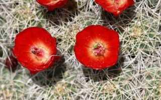 Эхиноцереус: описание растения и его видов, особенности выращивания, уход и размножение в домашних условиях, фото