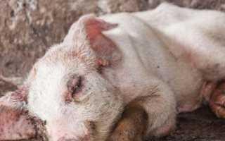 Пастереллёз свиней: симптомы и лечение, вакцина, сыворотка, фото