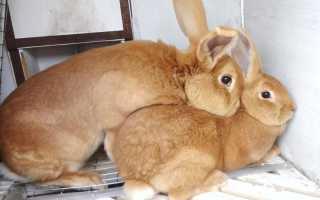 В каком возрасте можно спаривать кроликов: особенности половой зрелости, как правильно это делать