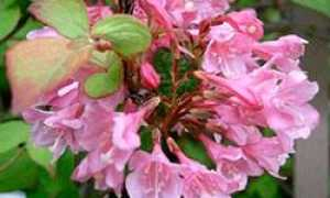Вейгела — размножение: черенками и отводками, летом, осенью и весной, как правильно и когда можно размножать кустарник,